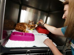 Ginger Cat in Kennel Playing with Wilson Vet Group Staff Member